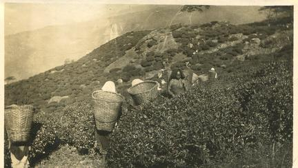 Tea Garden near Darjeeling 1910