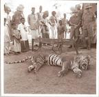 Tiger shot by Major Russell, Mount Abu, June 1941
