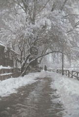 Snow laden almond tree, Bund Srinagar, Kashmir ca 1911